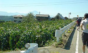 ぶどう畑の向こうには富士山も見えた